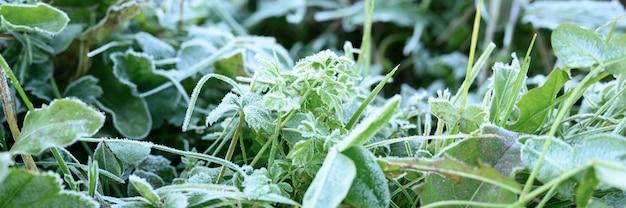 Зеленая трава с утренним инеем в саду, замерзшая трава с инеем на лугу на рассвете