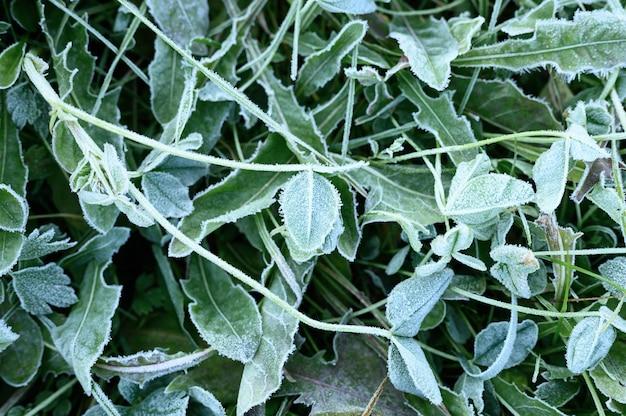 Зеленая трава с утренним инеем в саду, замерзшая трава с инеем на лугу