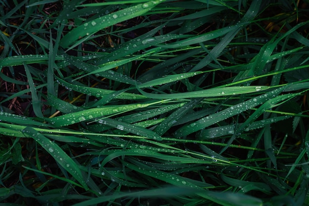 Green grass with raindrops surface. top view.