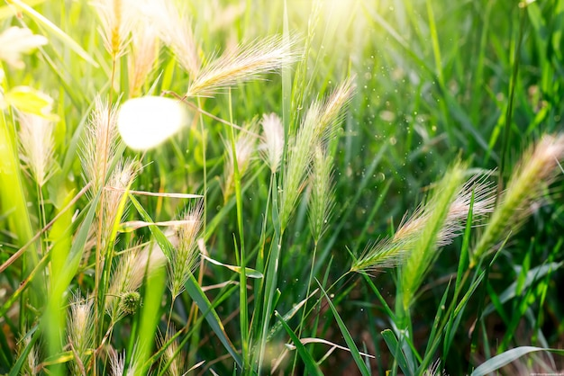 Green grass with spikelets on a sunny day