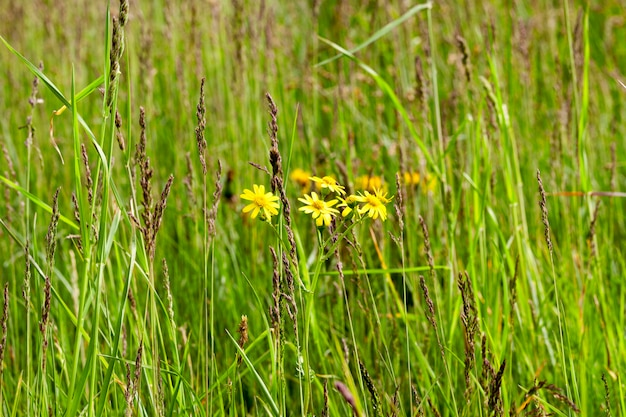 Green grass and yellow flowers inflorescence growing on the territory of the agricultural field