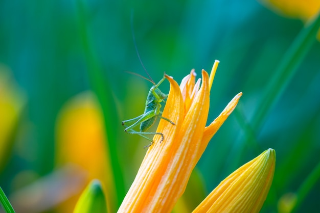 Green grasshopper on a flower close-up