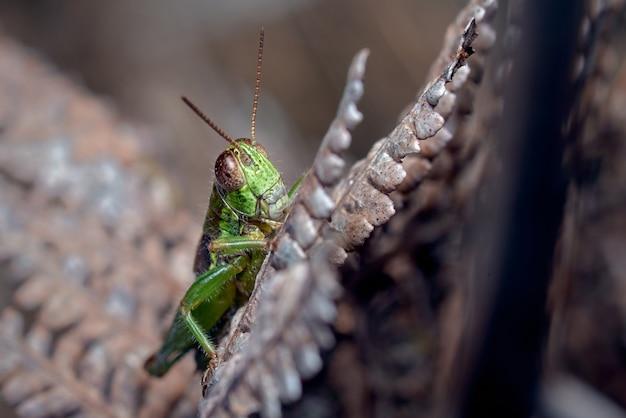 Зеленый кузнечик прячется в ветвях
