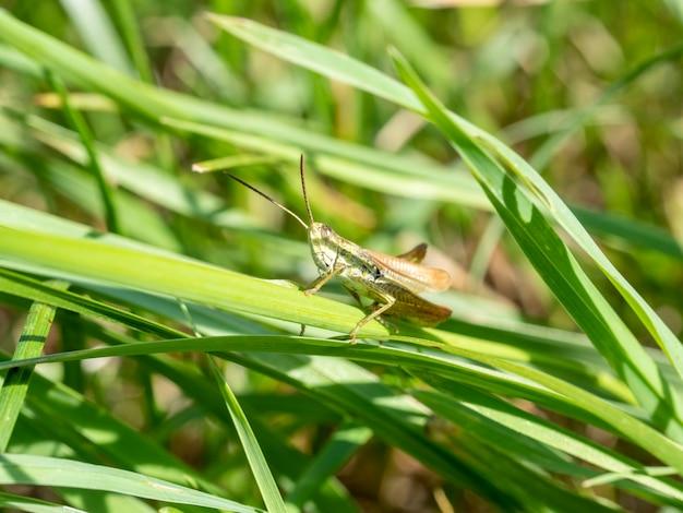 Зеленый кузнечик в траве крупным планом. макро фото насекомого