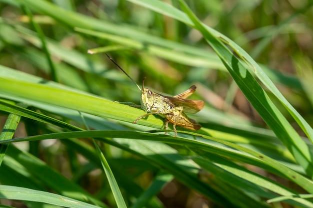 Зеленый кузнечик в траве