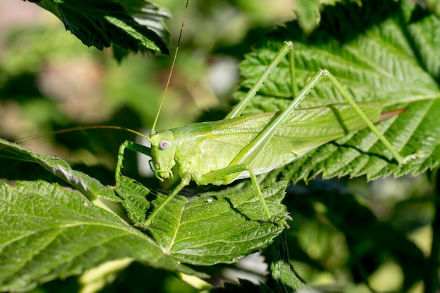 A green grasshopper is masked among green leaves in sunny weather