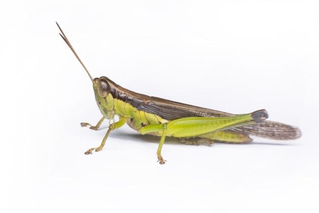 클리핑 패스와 흰색 배경에 고립 된 녹색 메뚜기