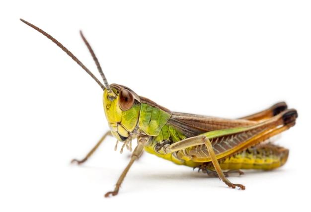 녹색 메뚜기 흰색 절연