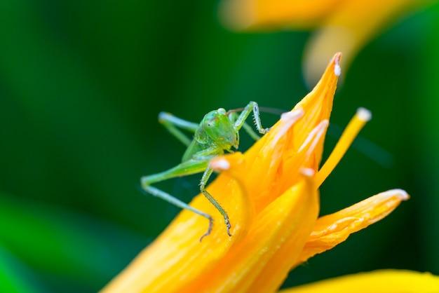 Зеленый кузнечик на цветке крупным планом