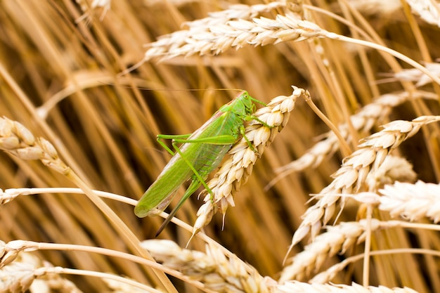 Зеленый кузнечик на колосе