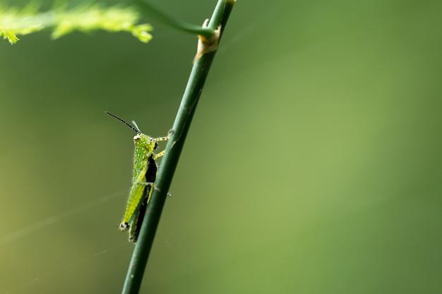 植物の緑いちゃつき
