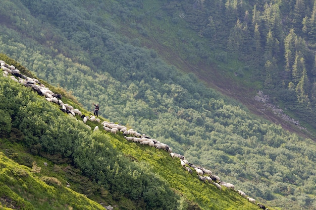 Green grassy steep hill with small silhouette of man shepherd guiding big flock of sheep and lambs