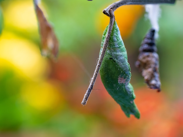 Green hanging pupa life stage from caterpillar to butterfly