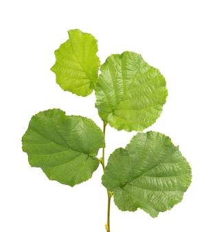 緑のヘーゼルナッツの葉は白い背景で隔離。新鮮な緑のヘーゼルの葉。