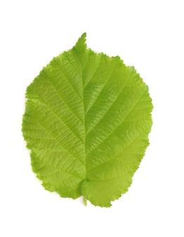 Green hazelnut leaves isolated on white background. fresh green hazel leaf.