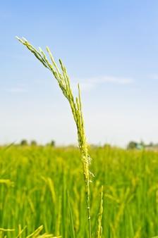 タイの水田の緑の穀物の頭