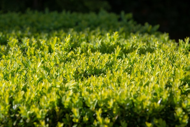 Green hedge close up