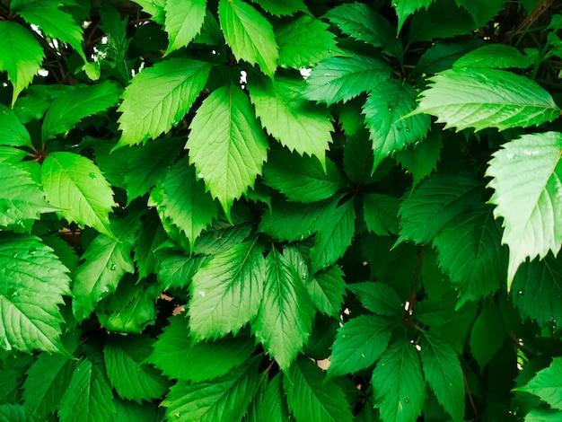 겉의 녹색 울타리 울타리는 나무 아이비 자연 배경 겉 덩굴의 질감을 남깁니다.