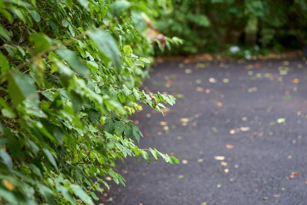 Green hedge from the bushes sidewalk pedestrian zone.