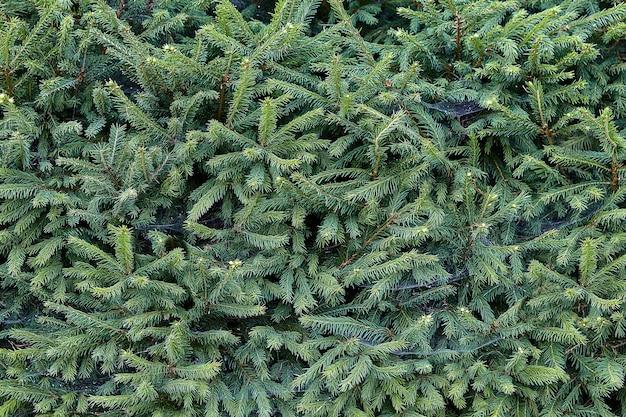 若いモミの木からの緑の生け垣、植物相の質感。