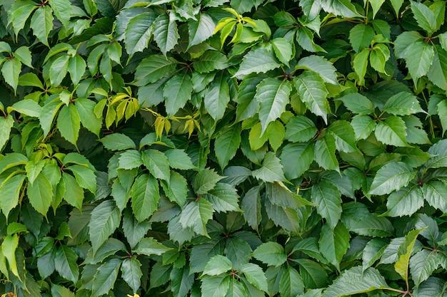 Green hedge, hedgerow. liana on the wall, fence.