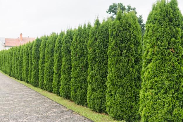 Thujaの木の緑の生垣。トゥイの木の緑の生垣。
