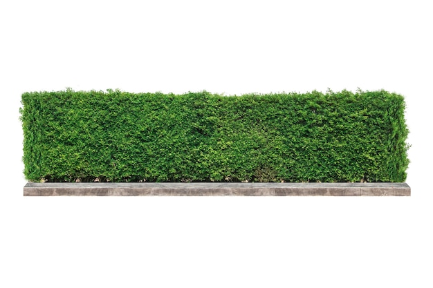 고립 된에 녹색 울타리 또는 녹색 잎 벽.