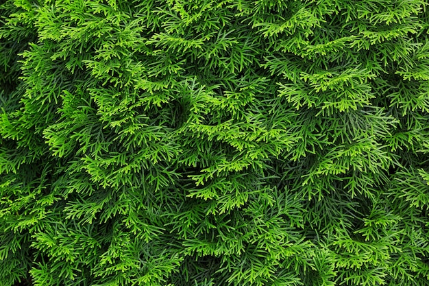 Green hedge of thuja trees thuja green leaves natural textured background