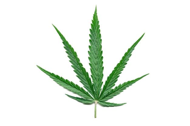 Green hemp leaf isolated on white surface. growing medical marijuana plant. marijuana cannabis plant. cannabis sativa. weed.