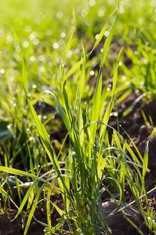 畑、農業、クローズアップの水滴と緑のハーブ草