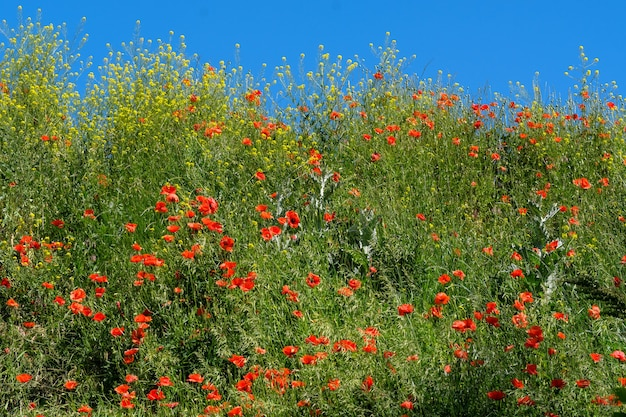 Green hill overgrown with grass under a blue sky with clouds with blooming red poppies on a sunny summer day