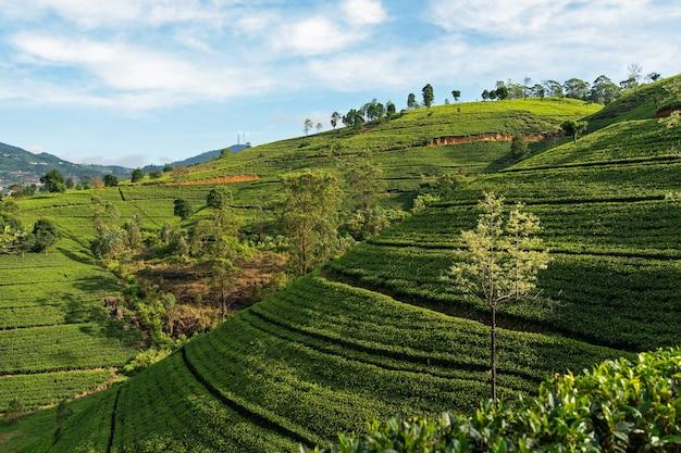 スリランカの茶畑のある緑の丘の風景