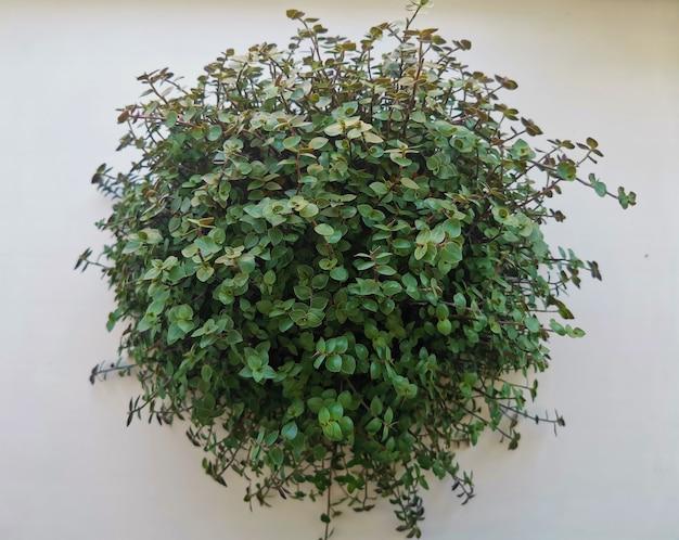 녹색 홈 식물 hedera 작은 잎 장식 흰색 배경에