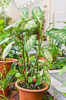 Green home potted plant, home greenhouse, winter garden.