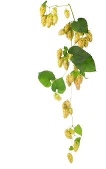 Зеленые шишки хмеля, изолированные на белом, пивоварение, производство натурального пива Premium Фотографии