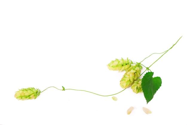 Зеленые шишки хмеля, изолированные на белом, пивоварение, производство натурального пива