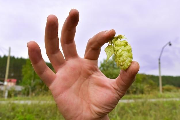 屋外で男性の手を動かす際のグリーンホップ。ビール醸造の材料。成長するホップ。新鮮な緑のホップ、クローズアップを保持している男。ビールの生産