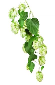 Зеленый хмель, изолированные на белом фоне