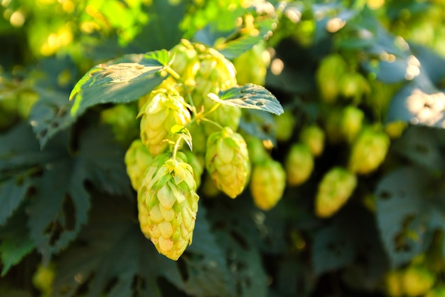Green hops at sunny day