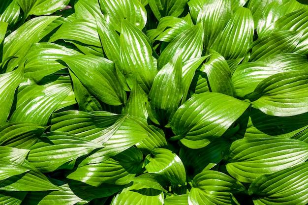 Green hosta lancifolia leaves natural background