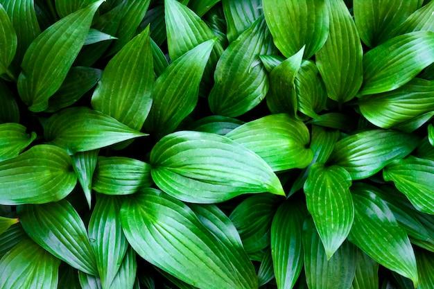 Green hosta lancifolia leaves natural surface