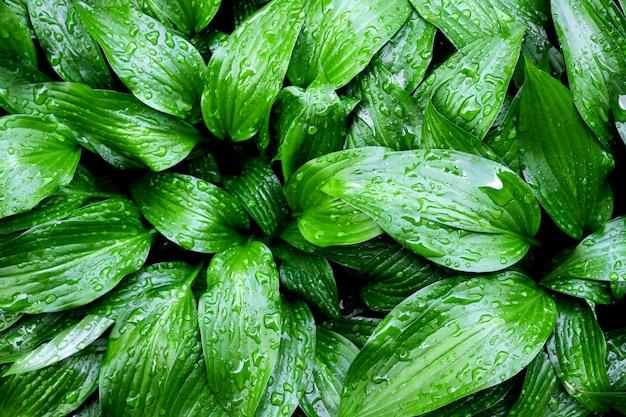 Green hosta lancifolia leaves natural