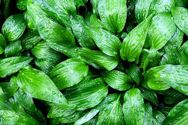 Green hosta lancifolia leaves