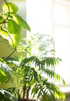 햇빛이 비치는 창 근처의 실제 방에 있는 온실 식물. 복사 공간이 있는 흐릿한 가정 정원 배경입니다.