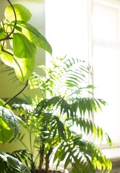 Green house plants in real room near sunlit window. blurred home garden background with copy space.