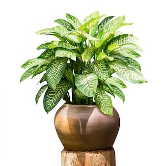 白で隔離される装飾用土鍋で緑の観葉植物