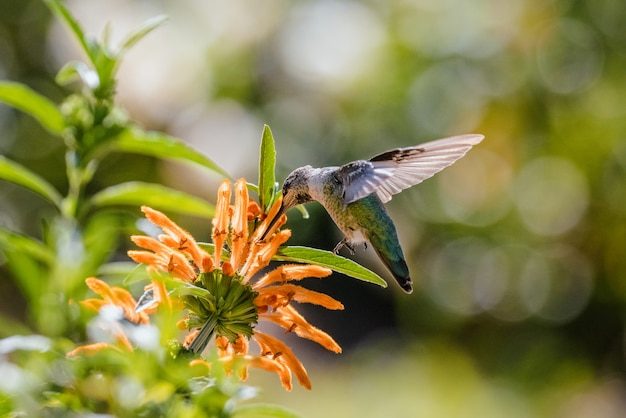 昼間にオレンジ色の花の上を飛んでいる緑のハミング鳥