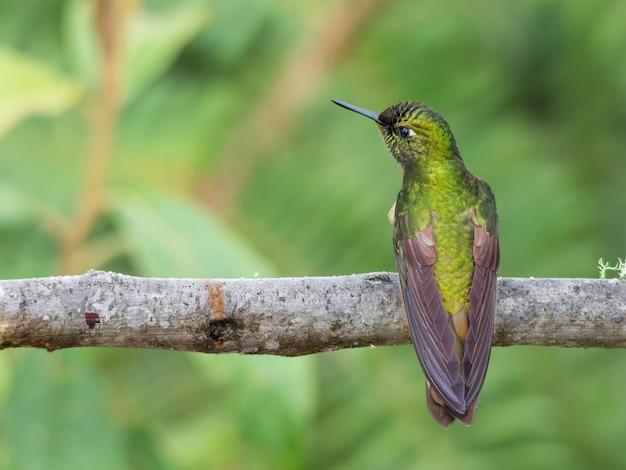 Зеленый колибри отдыхает на ветке дерева