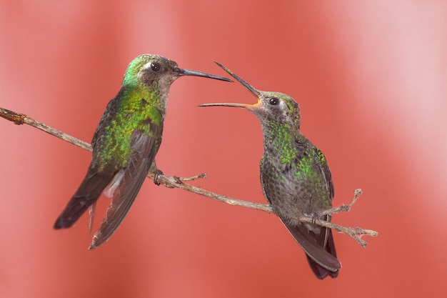 Green hummingbird on a twig with open mouth, waiting to be fed by mother