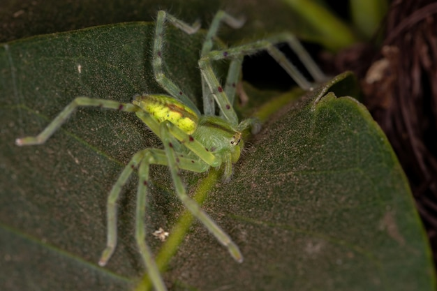 Green huntsman spider of the species family sparassidae